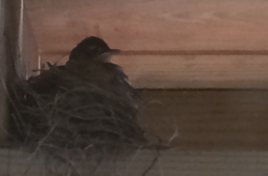 baby robin perched