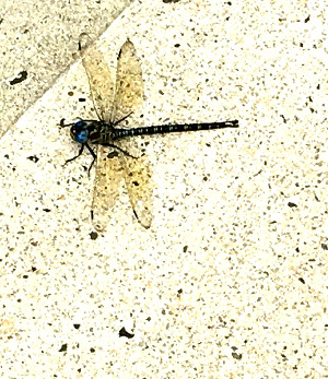 Dragonfly in New Haven