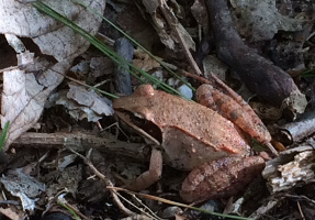 common wood frog (living on-site)