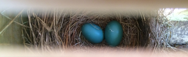 robin eggs (on-site nest)